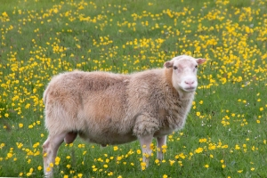 Icelandic Sheep and Buttercups