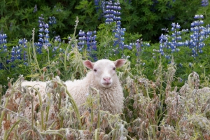 Icelandic Sheep and Lupines