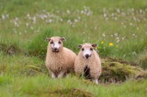 Cute Twin Lambs