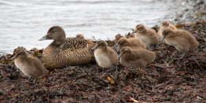 Female Eider Duck with Chicks