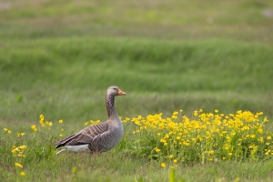 Greylag Goose and Buttercups