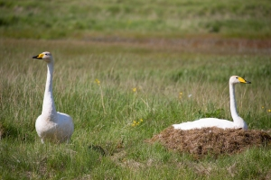 Mating Pair of Whooper Swans