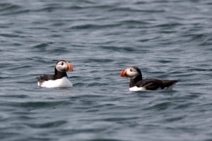 Puffin Pair on Water