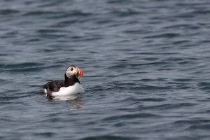 Puffin with a Beautiful Colorful Bill