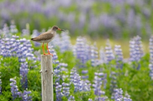 Red Shank and Lupines