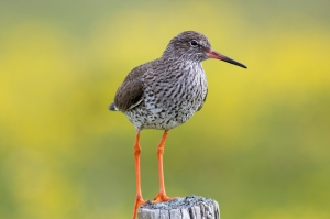 Red Shank on Post