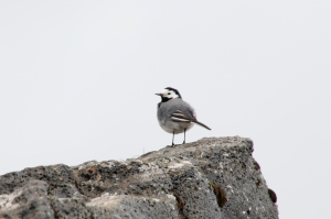 White Wagtail on Volcanic Rock