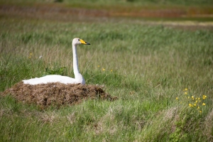 Whooper Swan Sitting on Nest