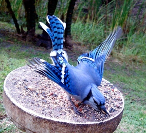 Blue Jays Have Beautiful Feathers