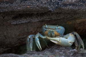 Blue Land Crab under Stump