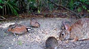 Bobwhite Quail, Bunny, and Cotton Rat Eating Together