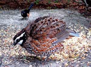 Bobwhite Quail with Feathers Fluffed Up