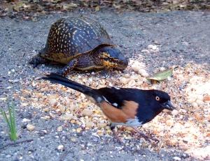 Box Turtle and Eastern Towhee