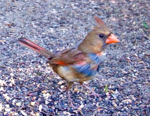 Baby Cardinal with Adult Feathers Growing In