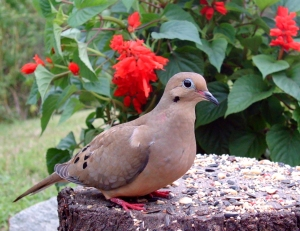 Dove and Red Flowers