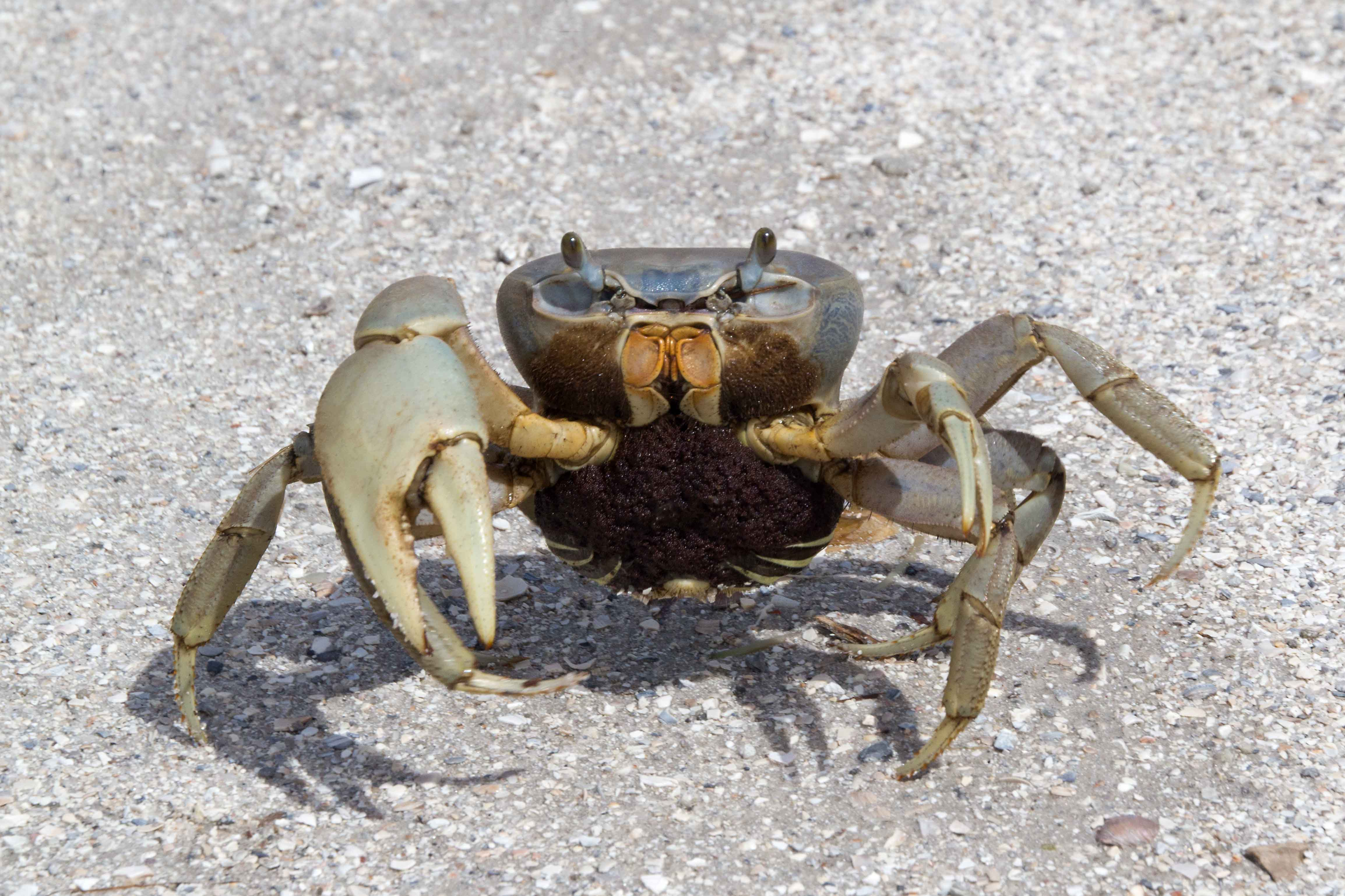 Pictures of florida crabs
