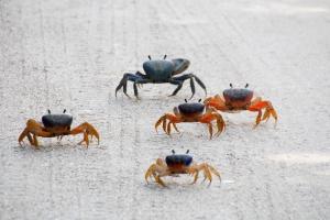 Five Land Crabs Walking
