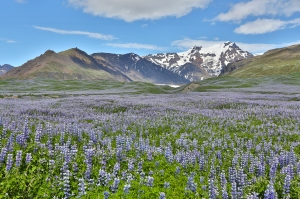 Glacial Mountain with Field of Lupines