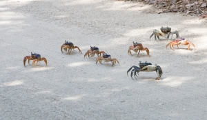 Group of Land Crabs Crossing Sandy Road