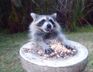 Happy Raccoon Eating Seeds and Nuts