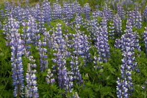 Close-up of Fragrant Lupines