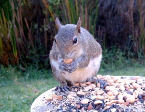 Mama Squirrel Eating a Peanut