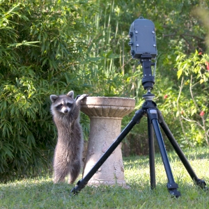 Raccoon Beside Automatic Wildlife Camera Setup