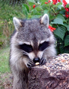 Raccoon Inspecting Peanut