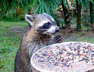 Raccoon Saying Grace