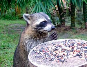 Raccoon Saying Grace