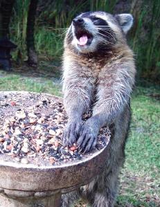 Raccoon Talking