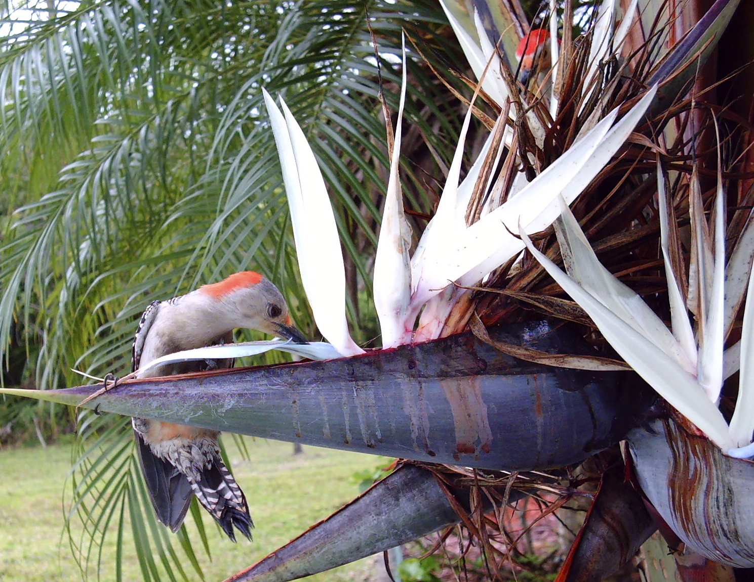 red bellied woodpecker drinking nectar from white bird of paradise