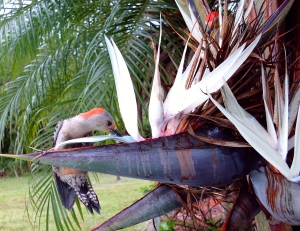 Red Bellied Woodpecker Drinking Nectar from White Bird of Paradise Flowers