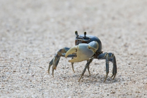 Side View Showing Blue Land Crab's Giant Claw
