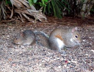 Squirrel and Cotton Rat