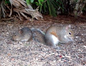 Squirrel and Cotton Rat