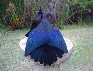 Stunning Boat-Tailed Grackle Feathers
