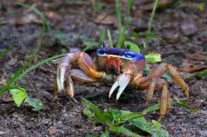 Very Colorful Land Crab