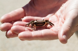 Very Young Land Crab (too small to pinch)