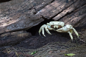 White Land Crab (probably female)
