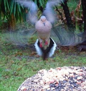 Wing Blur of Dove Landing