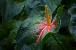 Anthurium with Yellow Spathe