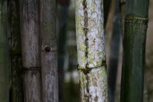 Bamboo (World's Biggest Grass and Strong as Lumber)