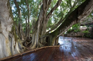 "Banyan Tree (one tree expands into a ""forest"" with aerial prop roots that grow down to soil from branches)"