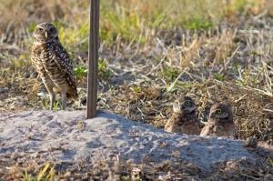 Burrowing Owl Family