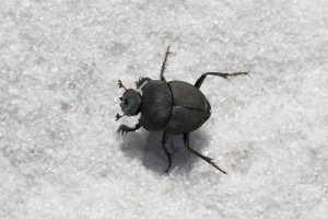Baby Dung Beetle on White Sandy Trail (combed antennae are extremely sensitive to smell)