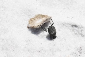 Dung Beetle Doing Headstand Pushing Mushroom Cap Backwards