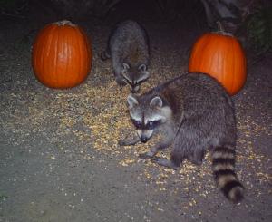 Raccoons and Pumpkins 3