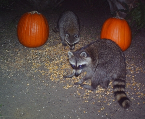 Raccoons and Pumpkins 3