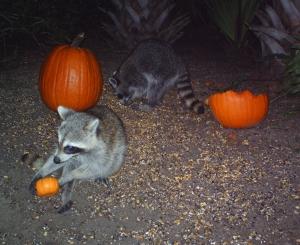 Raccoons and Pumpkins 7